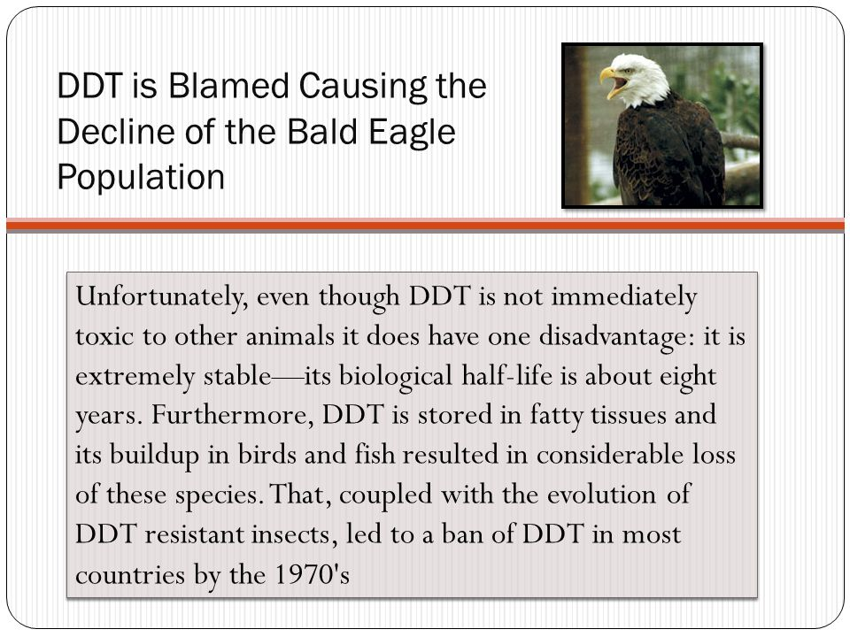 DDT is Blamed Causing the Decline of the Bald Eagle Population