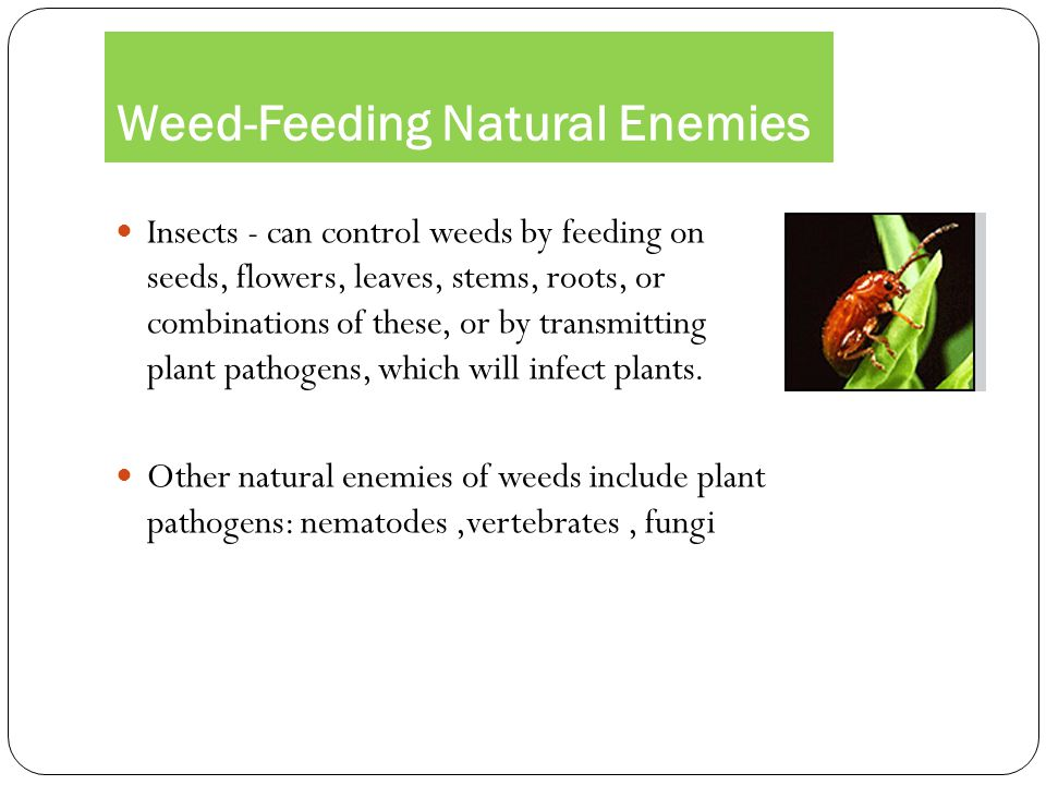 Weed-Feeding Natural Enemies
