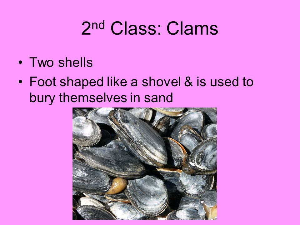 2nd Class: Clams Two shells