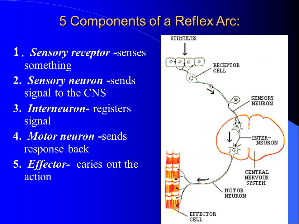 5 Components of a Reflex Arc: