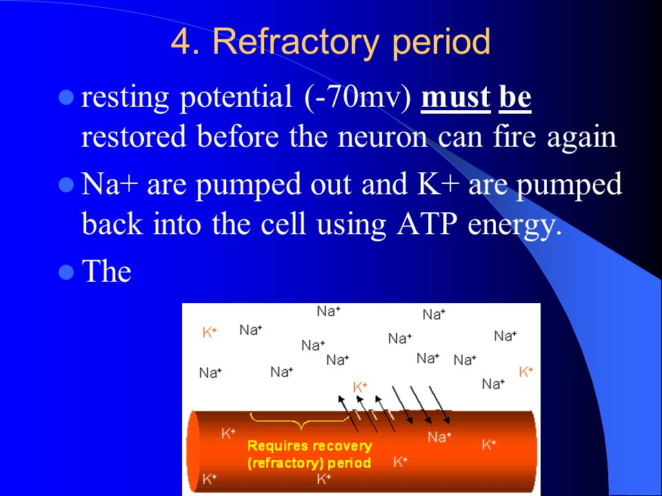 4. Refractory period resting potential (-70mv) must be restored before the neuron can fire again.