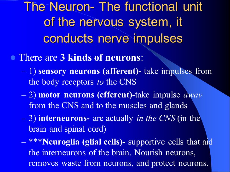 The Neuron- The functional unit of the nervous system, it conducts nerve impulses