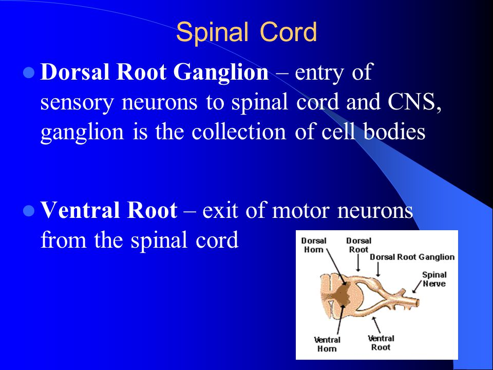 Spinal Cord Dorsal Root Ganglion – entry of sensory neurons to spinal cord and CNS, ganglion is the collection of cell bodies.
