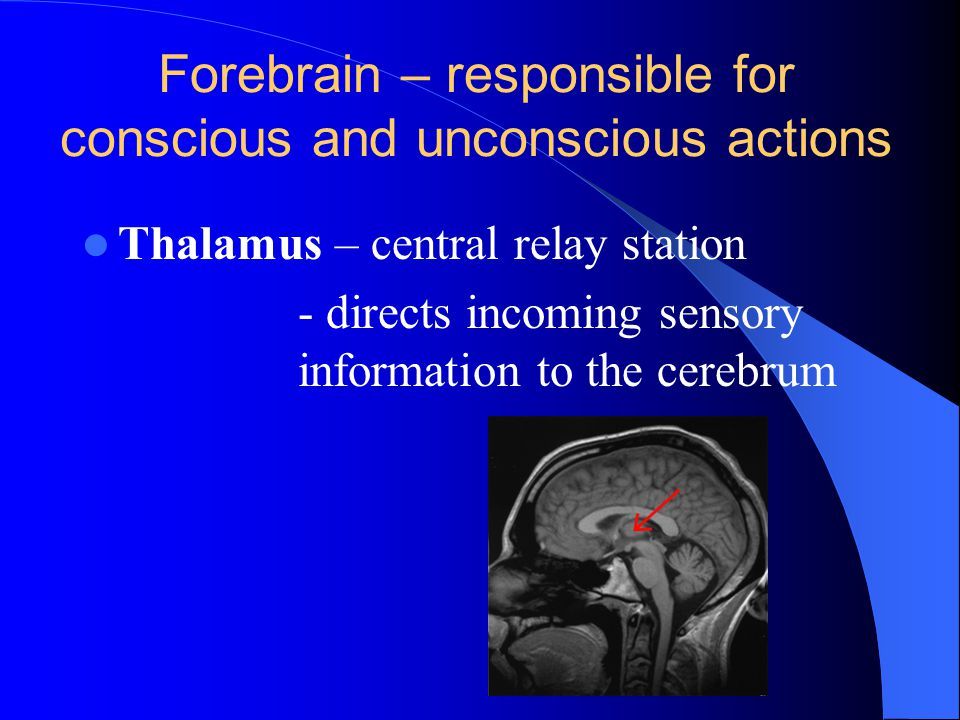 Forebrain – responsible for conscious and unconscious actions