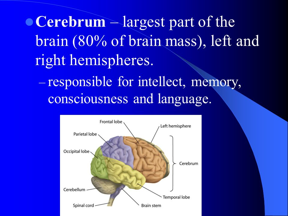 Cerebrum – largest part of the brain (80% of brain mass), left and right hemispheres.