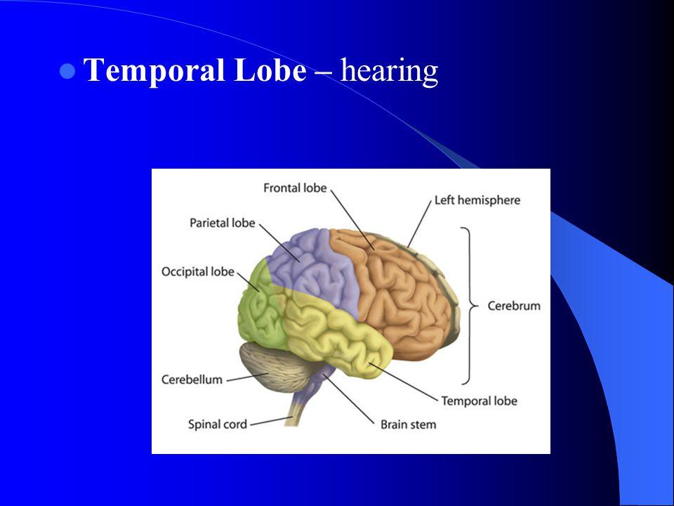 Temporal Lobe – hearing