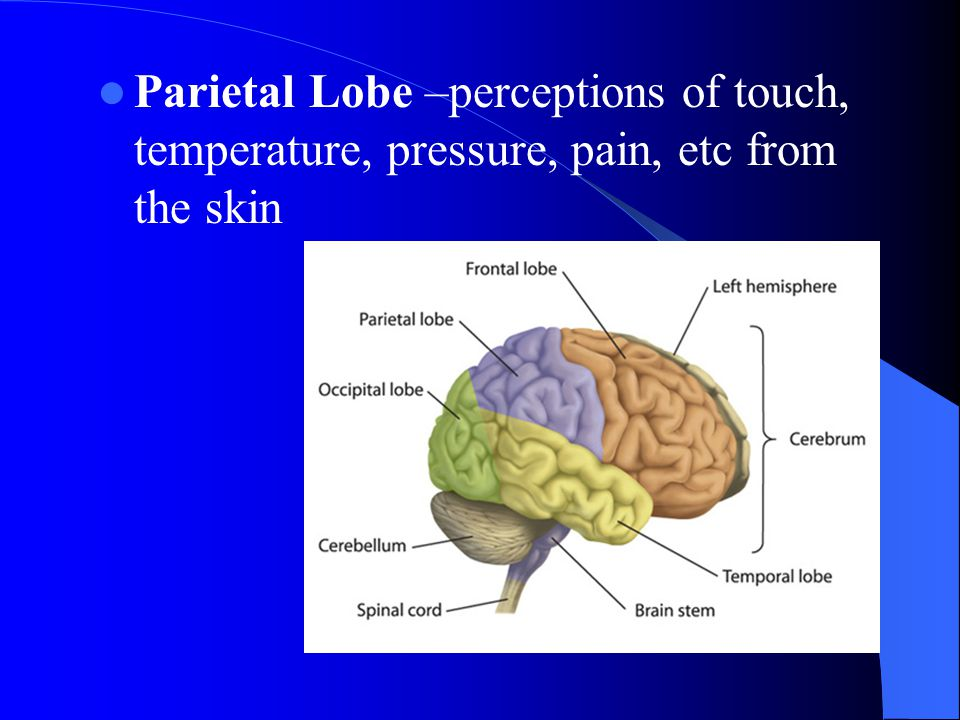 Parietal Lobe –perceptions of touch, temperature, pressure, pain, etc from the skin