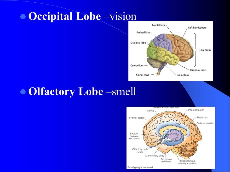 Occipital Lobe –vision
