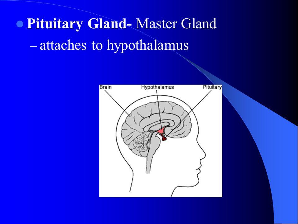 Pituitary Gland- Master Gland