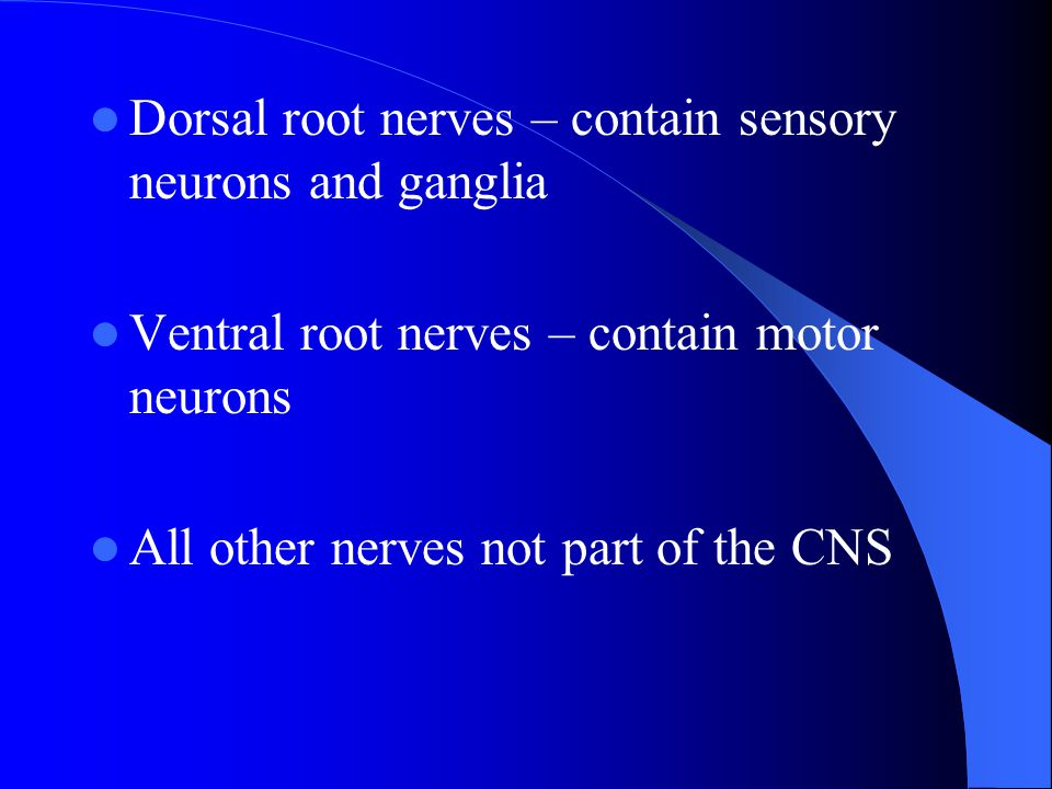 Dorsal root nerves – contain sensory neurons and ganglia