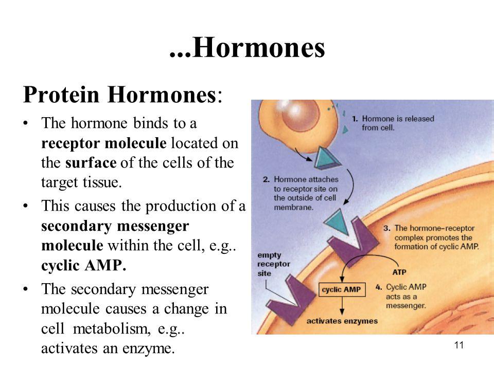 ...Hormones Protein Hormones: