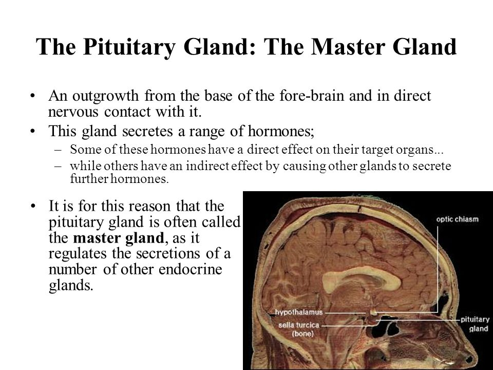 The Pituitary Gland: The Master Gland