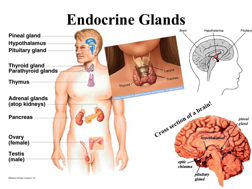 the pineal gland keeping the endocrine system on track Endocrine system overview endocrine system nervous system hormones target another gland and is usually necessary to hormone and keeping it at the.