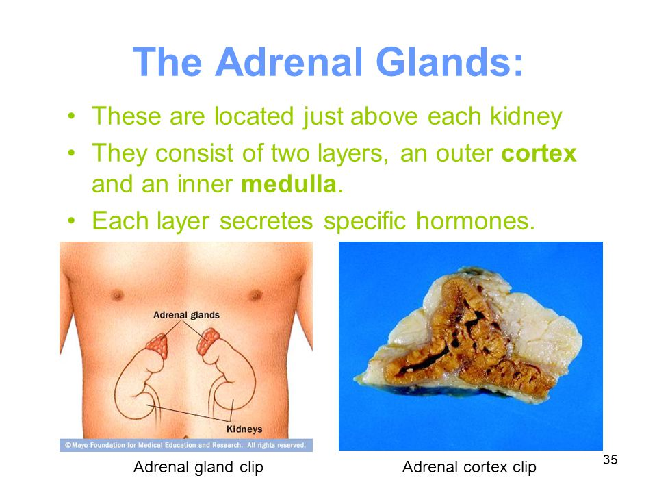 The Adrenal Glands: These are located just above each kidney