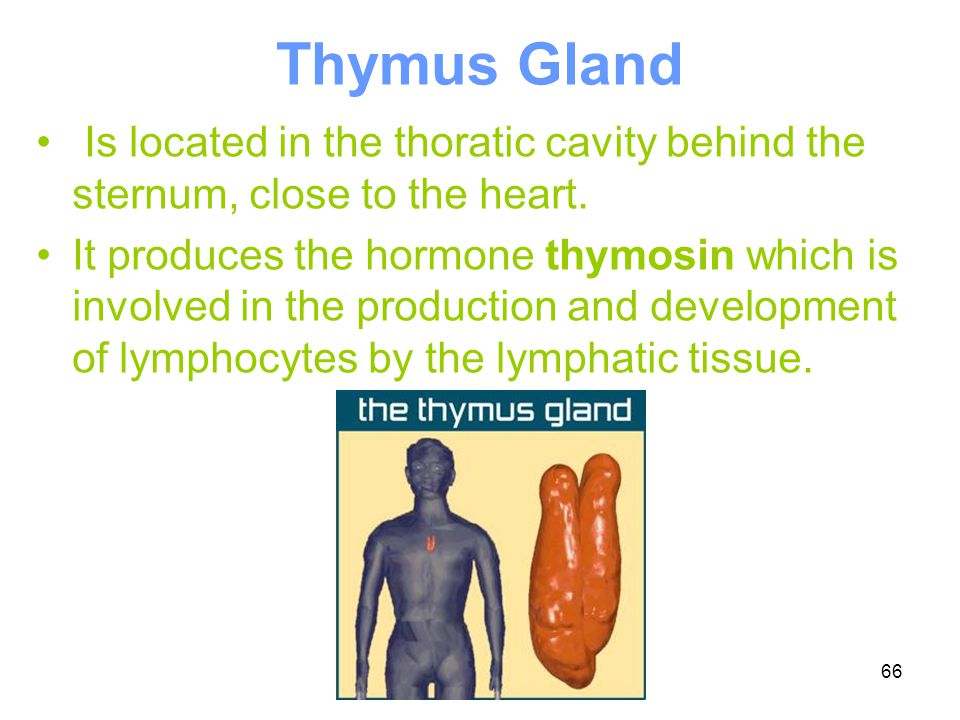 Thymus Gland Is located in the thoratic cavity behind the sternum, close to the heart.