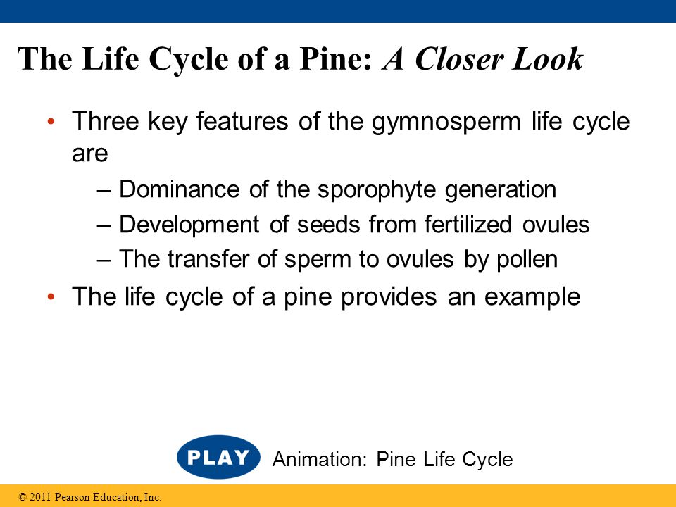 The Life Cycle of a Pine: A Closer Look
