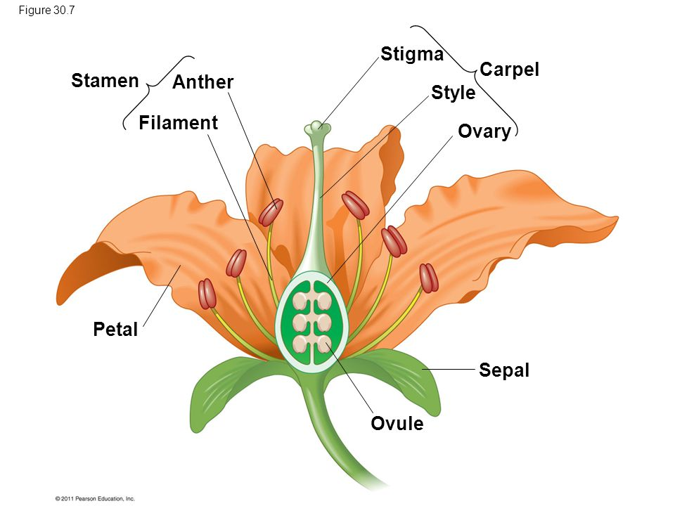 Stigma Carpel Stamen Anther Style Filament Ovary Petal Sepal Ovule