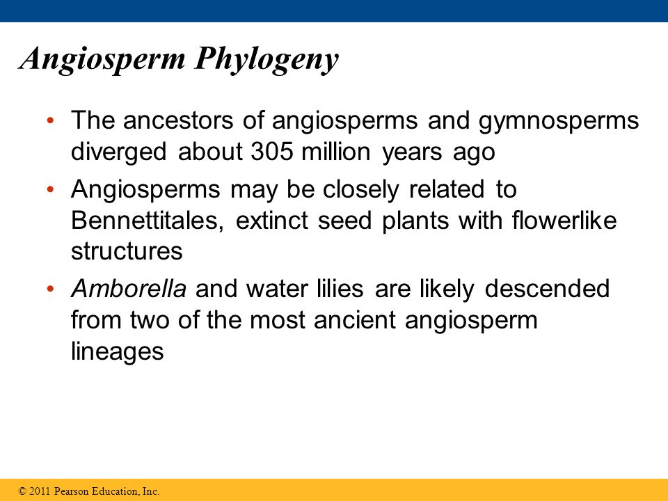 Angiosperm Phylogeny The ancestors of angiosperms and gymnosperms diverged about 305 million years ago.