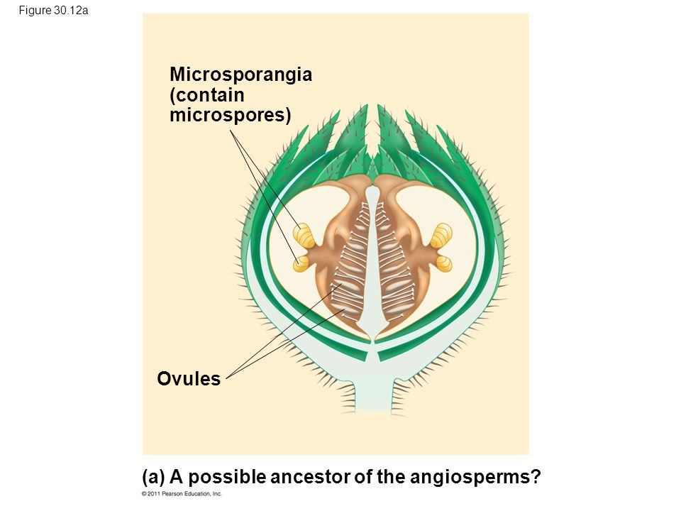 (a) A possible ancestor of the angiosperms