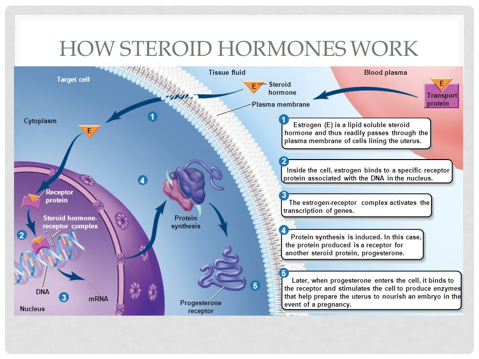How steroid hormones work