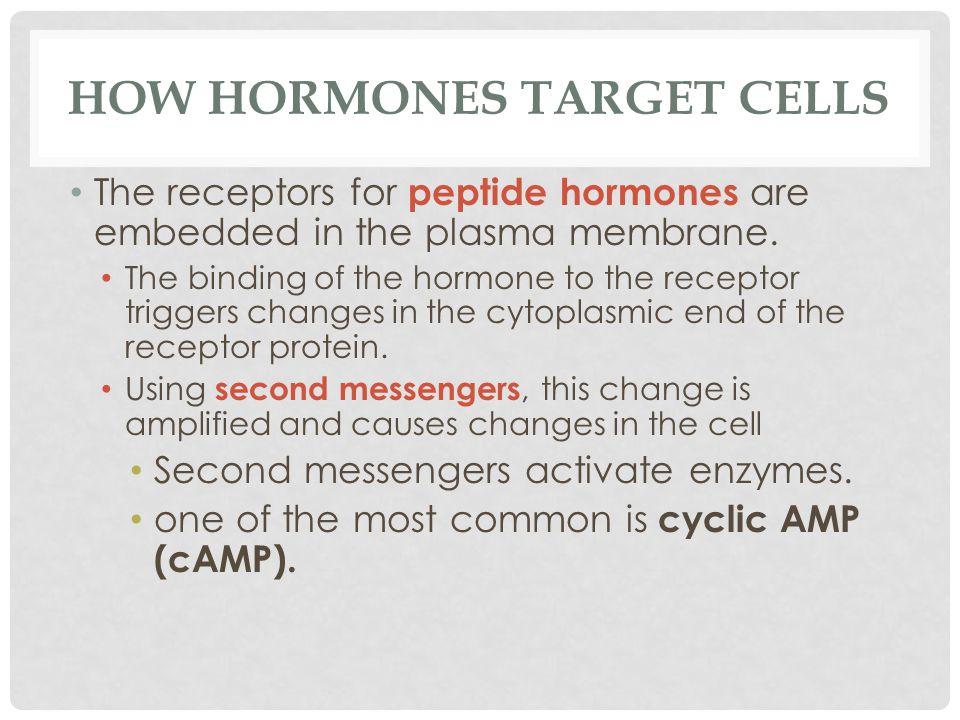 How Hormones Target Cells