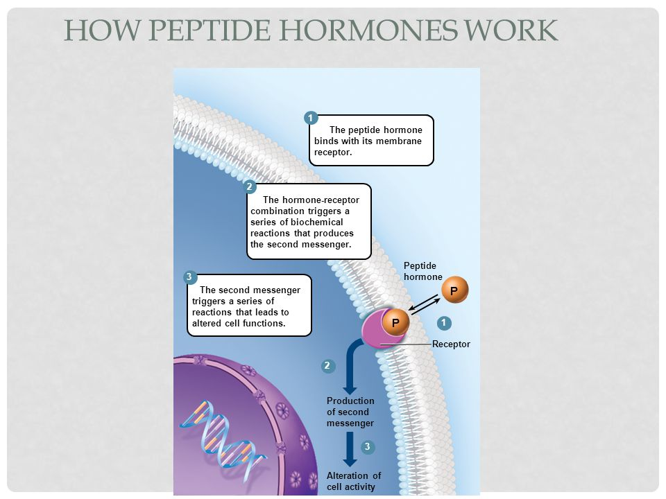 How peptide hormones work