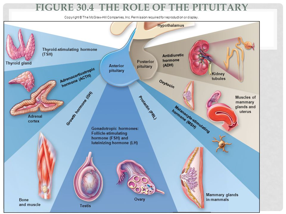 Figure 30.4 The role of the pituitary