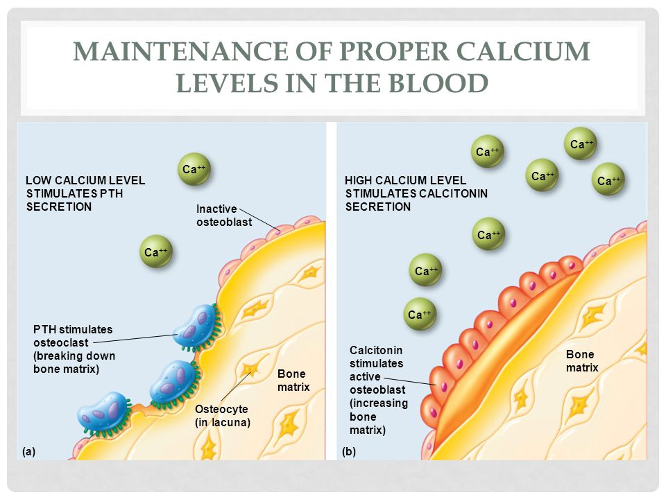 Maintenance of proper calcium levels in the blood