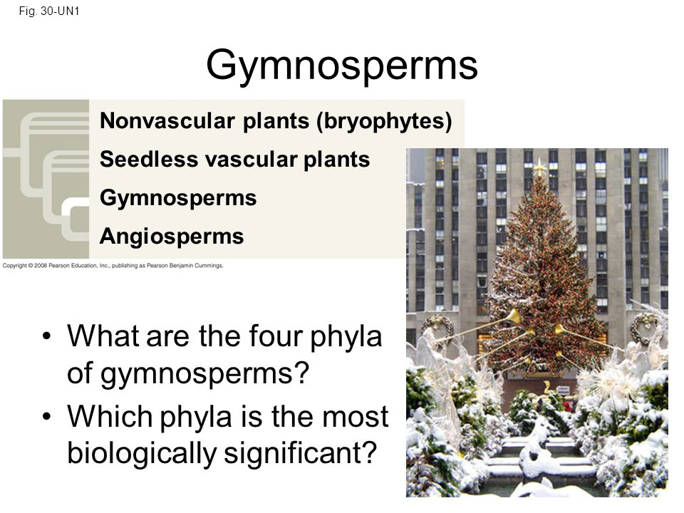 Gymnosperms What are the four phyla of gymnosperms