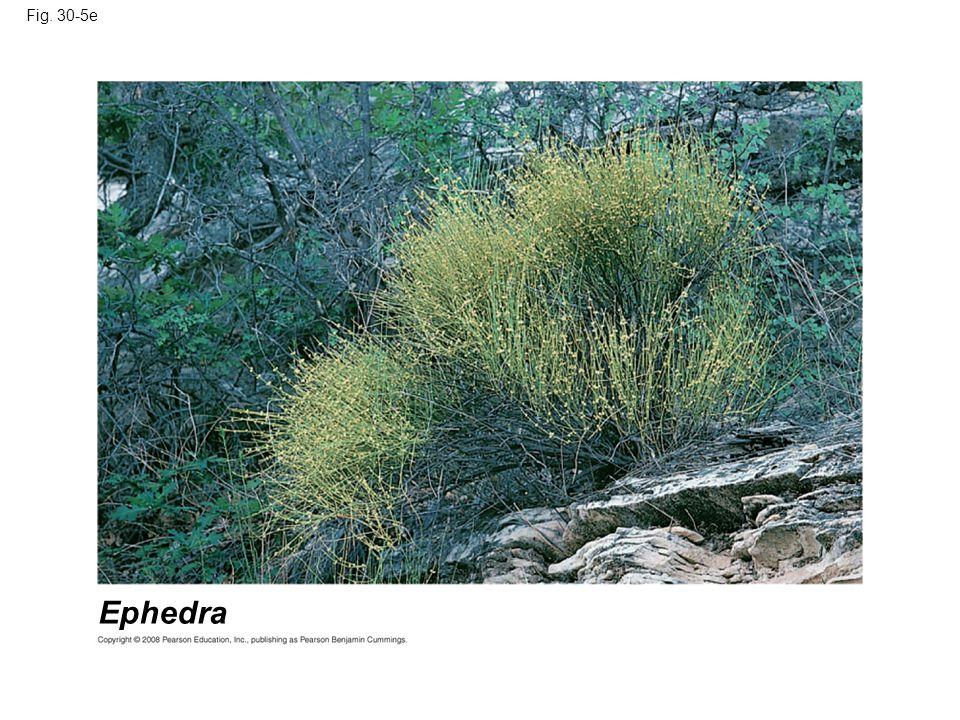 Fig. 30-5e Figure 30.5 Gymnosperm diversity Ephedra