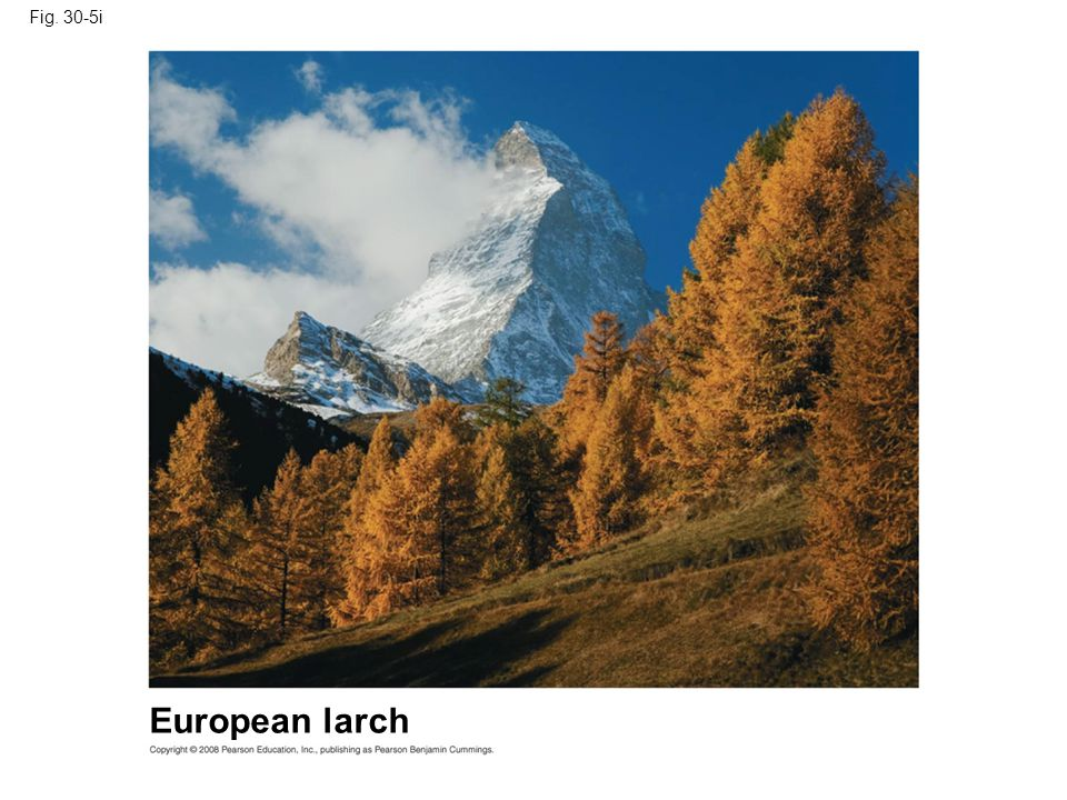 Fig. 30-5i Figure 30.5 Gymnosperm diversity European larch