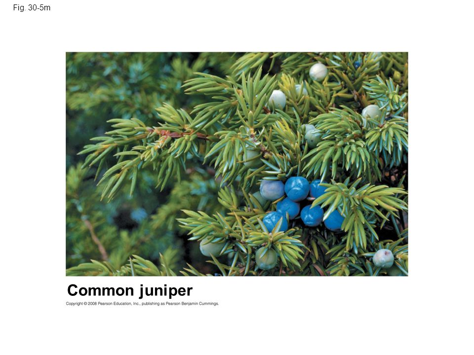Fig. 30-5m Figure 30.5 Gymnosperm diversity Common juniper