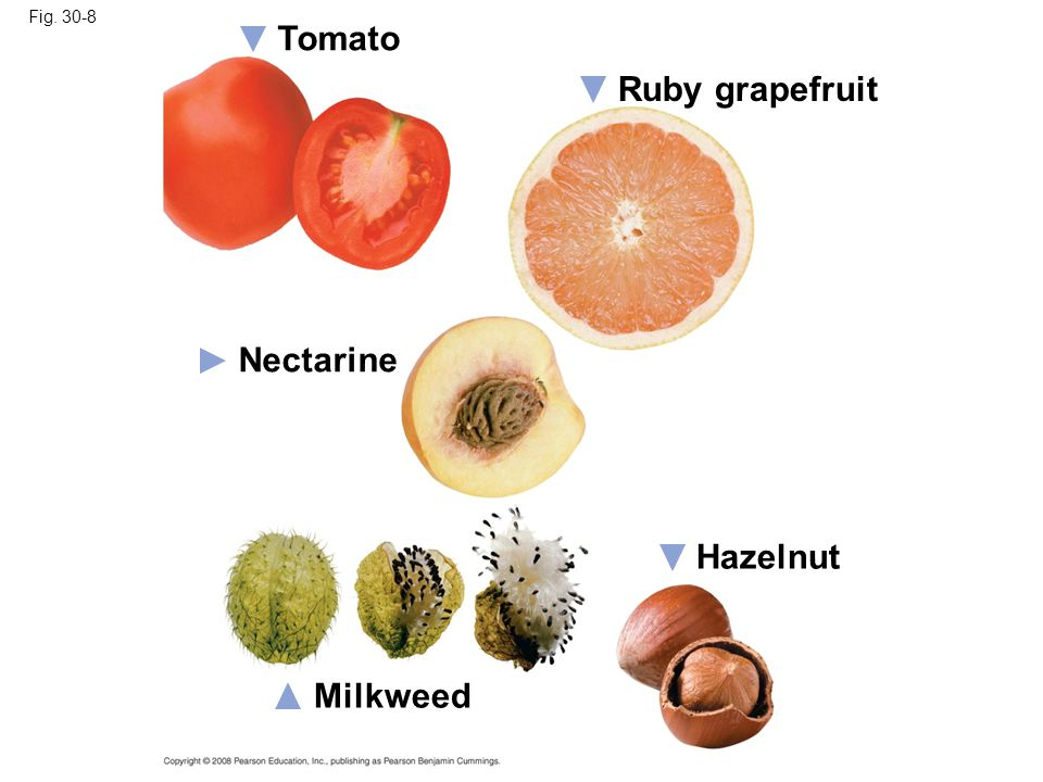Tomato Ruby grapefruit Nectarine Hazelnut Milkweed Fig. 30-8