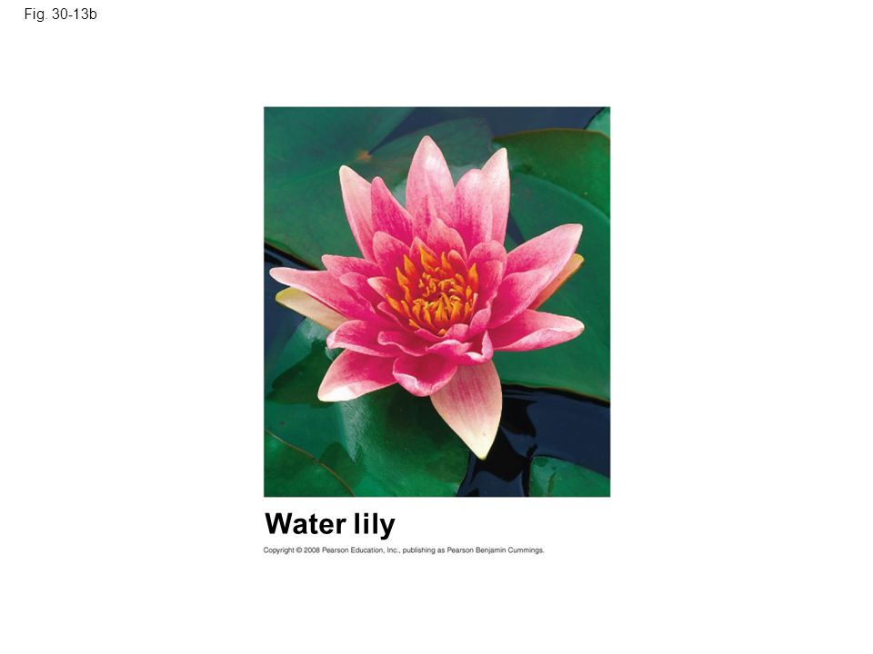 Fig. 30-13b Figure 30.13 Angiosperm diversity Water lily