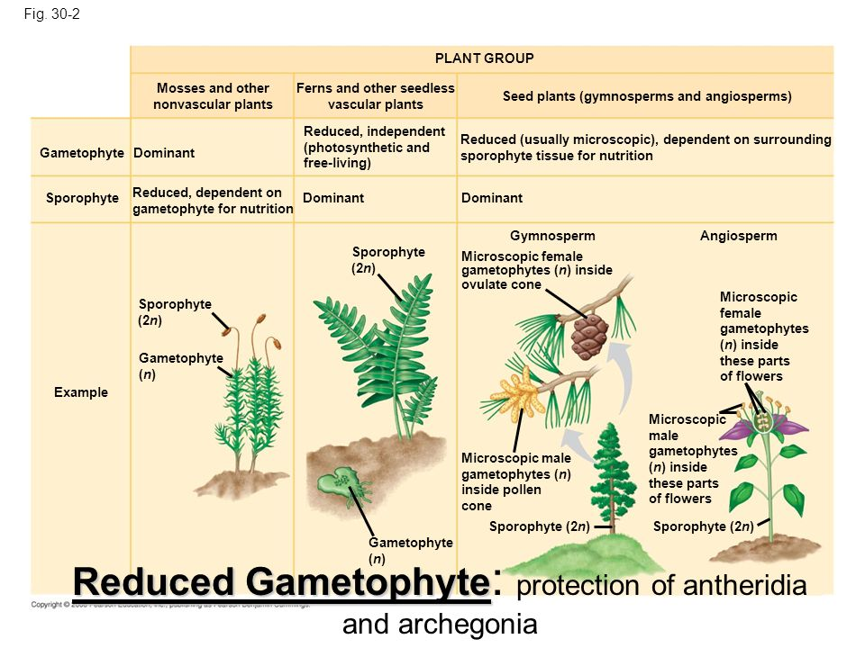 Reduced Gametophyte: protection of antheridia and archegonia