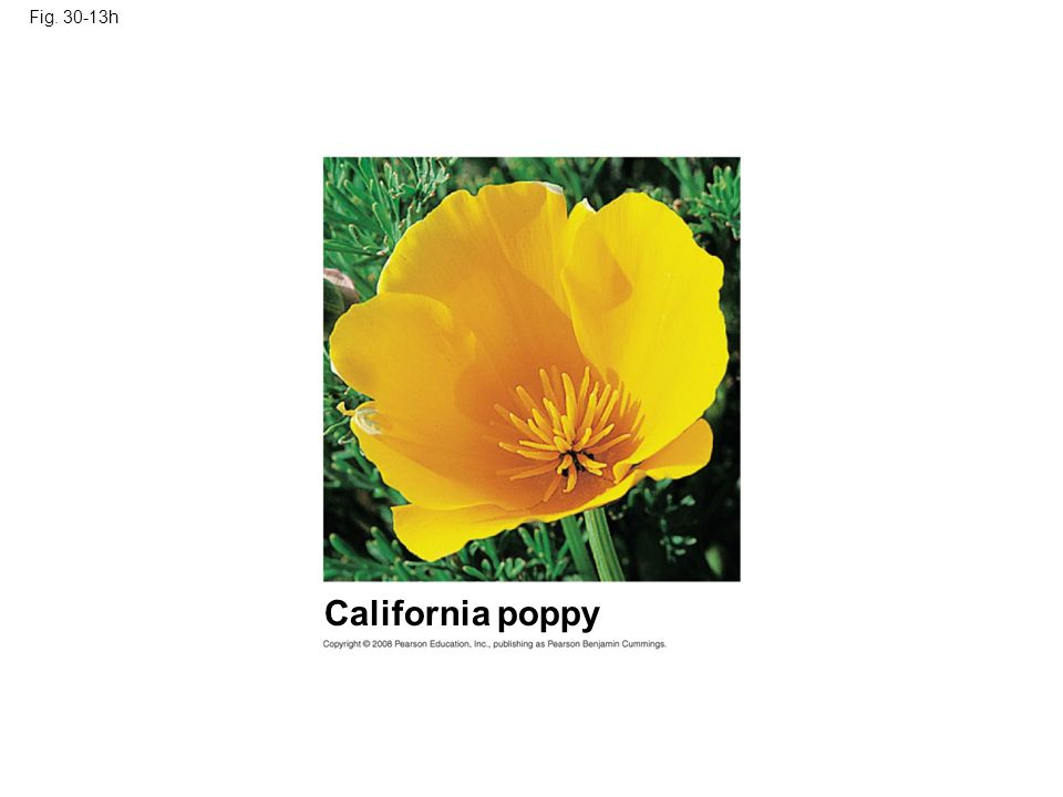 Fig. 30-13h Figure 30.13 Angiosperm diversity California poppy