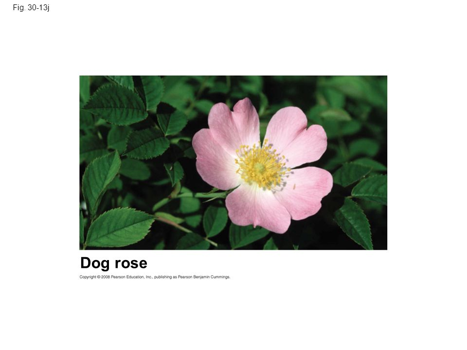 Fig. 30-13j Figure 30.13 Angiosperm diversity Dog rose