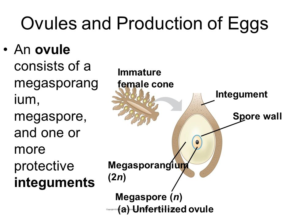 Ovules and Production of Eggs