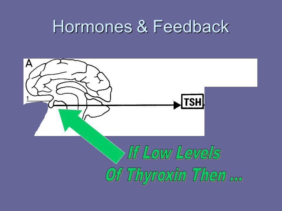 Hormones & Feedback If Low Levels Of Thyroxin Then ...