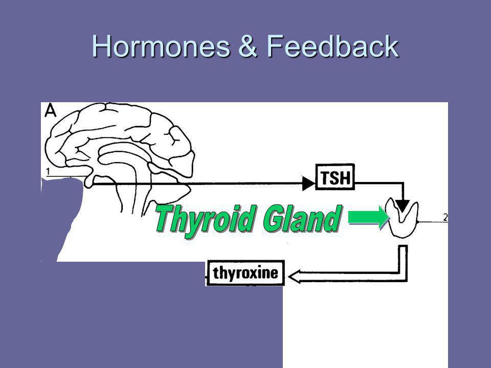 Hormones & Feedback Thyroid Gland