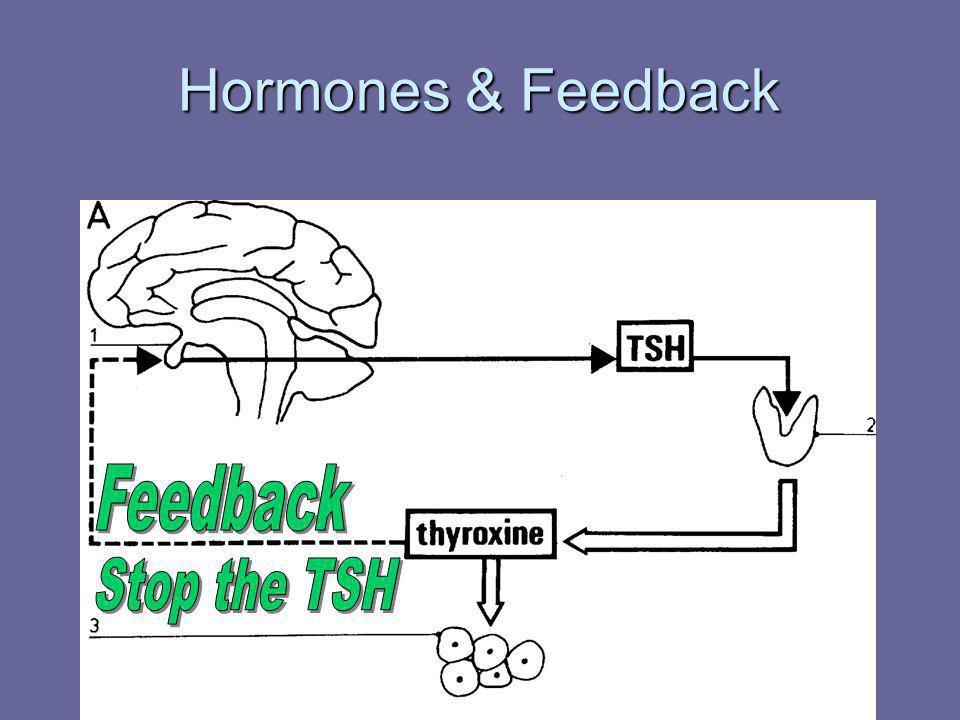 Hormones & Feedback Feedback Stop the TSH