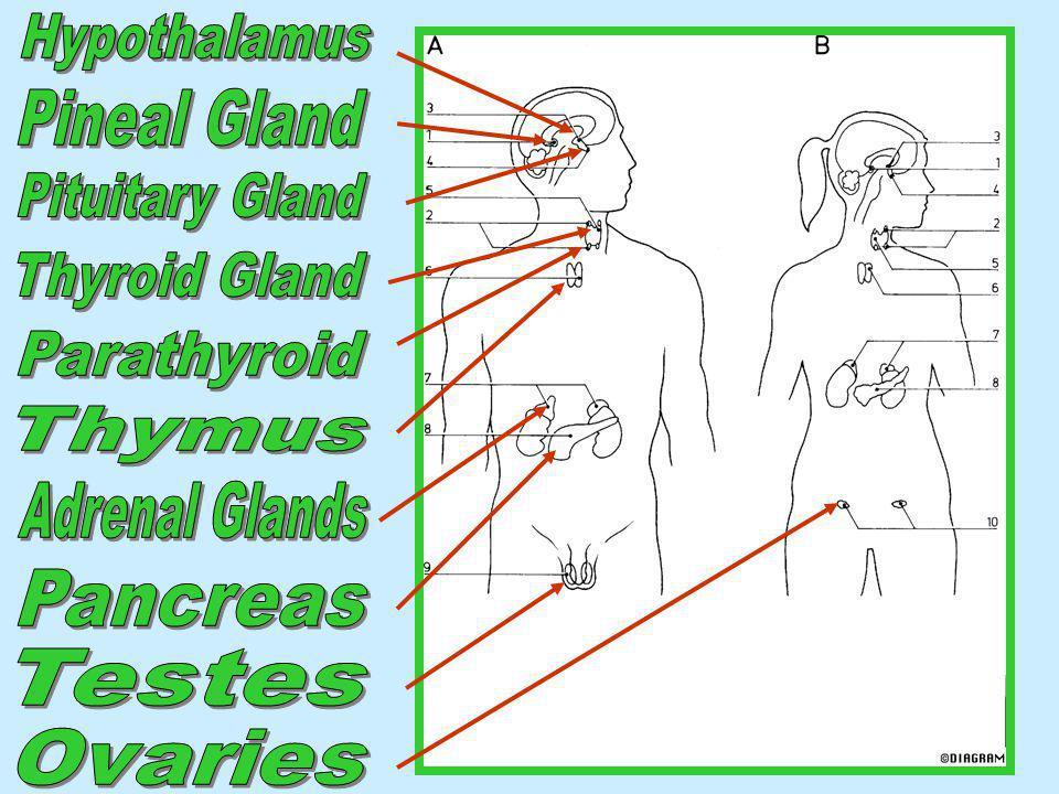 Hypothalamus Pineal Gland. Adrenal Glands. Thymus. Parathyroid. Thyroid Gland. Pituitary Gland.