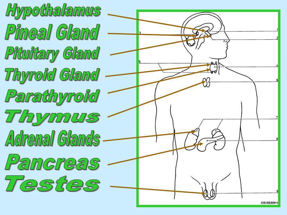 Hypothalamus Pineal Gland. Pituitary Gland. Thyroid Gland. Parathyroid. Thymus. Adrenal Glands.