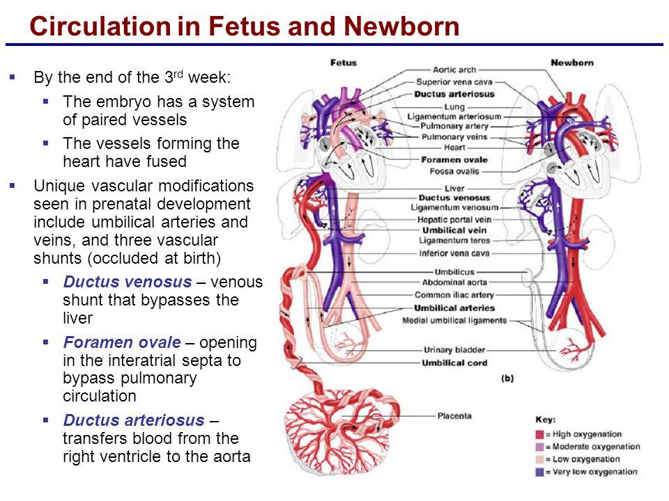 Circulation in Fetus and Newborn