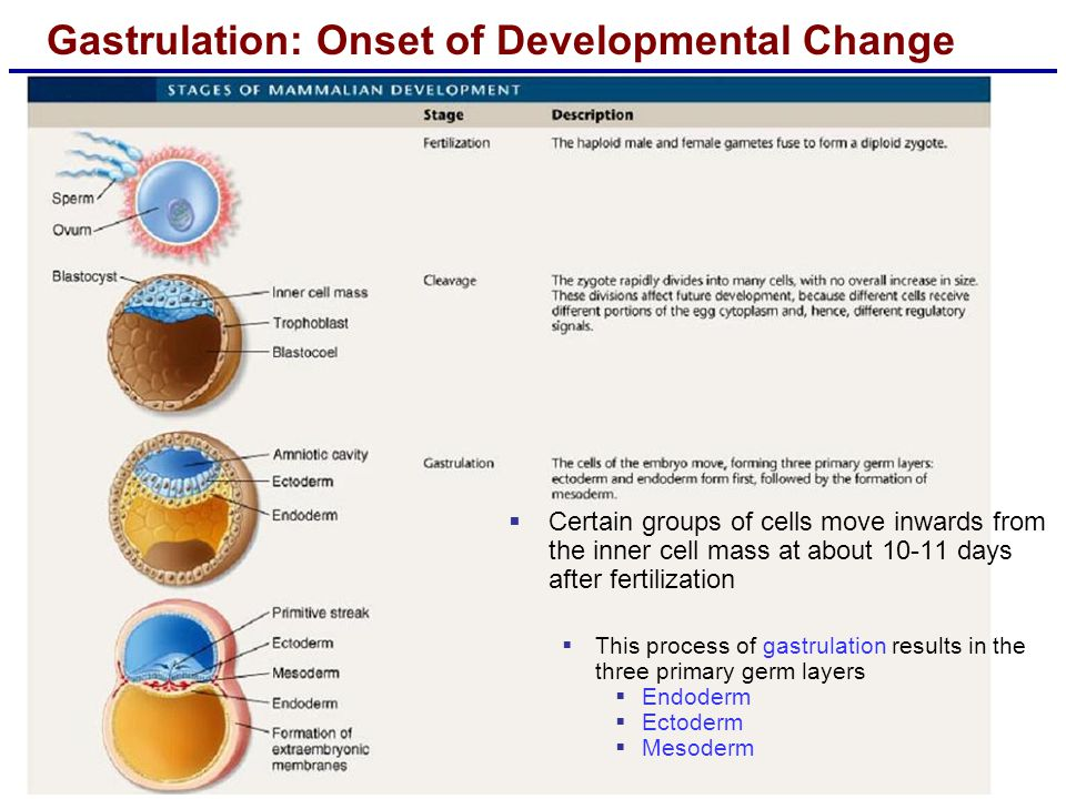 Gastrulation: Onset of Developmental Change