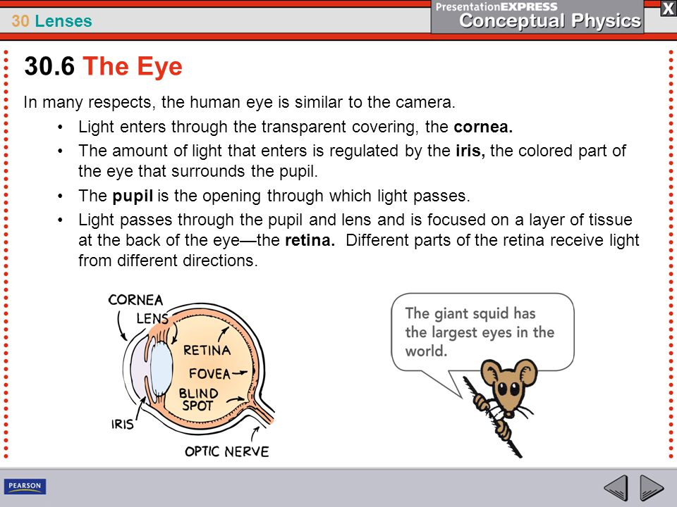 30.6 The Eye In many respects, the human eye is similar to the camera.
