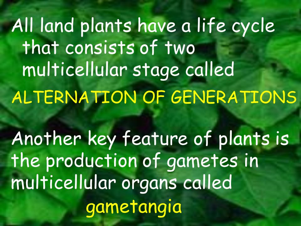 All land plants have a life cycle that consists of two multicellular stage called