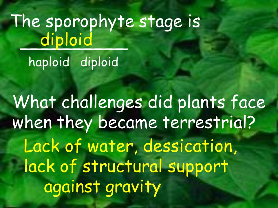 The sporophyte stage is __________ diploid