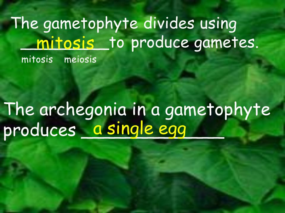 The archegonia in a gametophyte produces _____________ a single egg