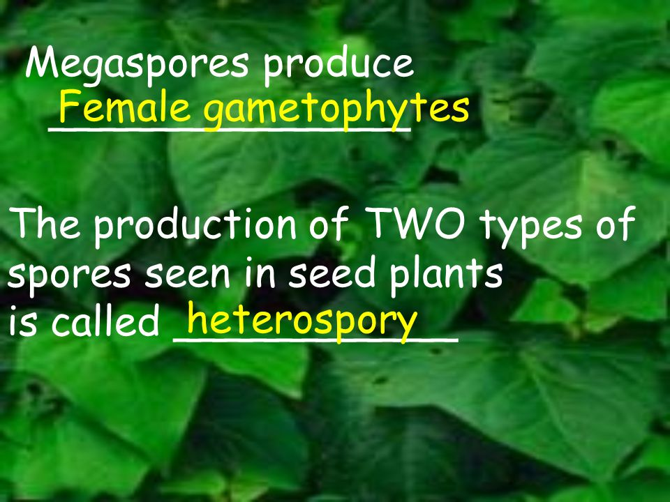 Megaspores produce ______________